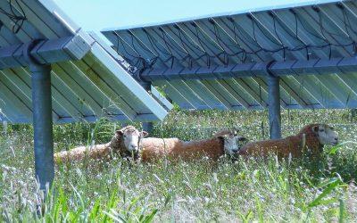 Sheep shall safely graze…